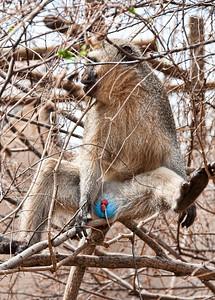 verver-monkey-1