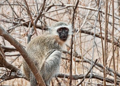 vervet-monkey-1