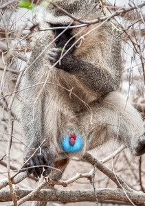 blue-balled-monkey-1