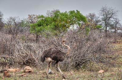 african-bush-ostrich-2-1