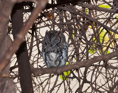 kruger-park-owl-1