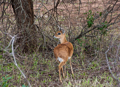 small-antelope-1