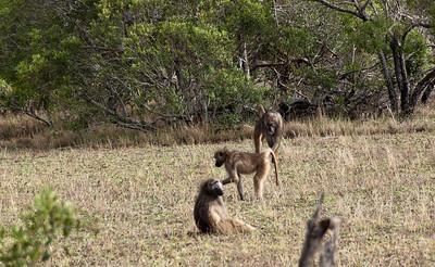 bush-baboons-1