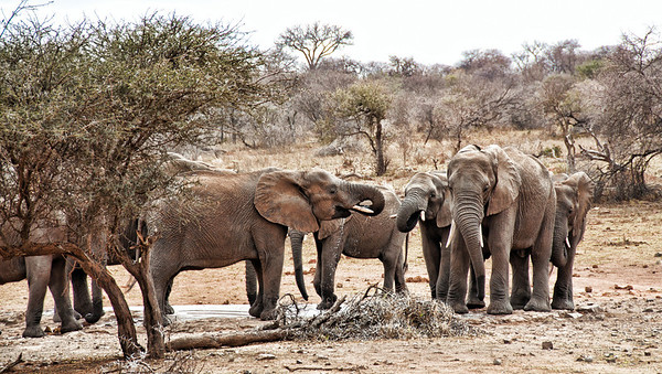 elephant-herd-drinking-2