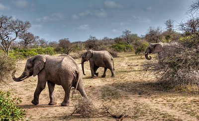 wandering-elephants-1