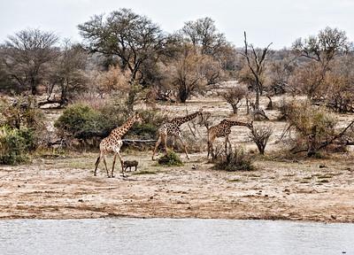 giraffes-warthog-4