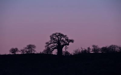 baobab-tree-sunset-1