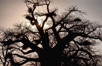 baobab-silhouette-1
