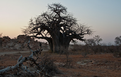 mapungubwe-baobab-1
