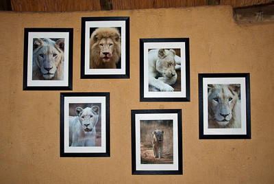 These photos of the white lions were in view each day in the dining area.