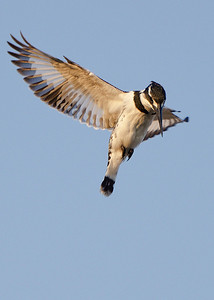 Pied Kingfisher Hovering