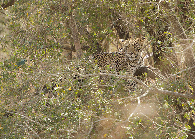 'In the dense bushes' Leopard on the S137 and S28 junction.