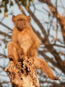 Balancing Baboon