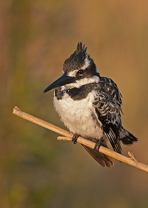 Perched Pied Kingfisher
