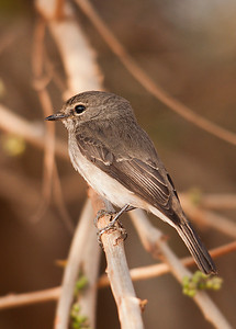 Flycatcher taken at sunset dam near Lower Sabie