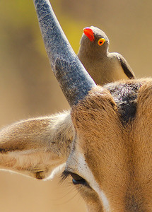 Pecker on Impala