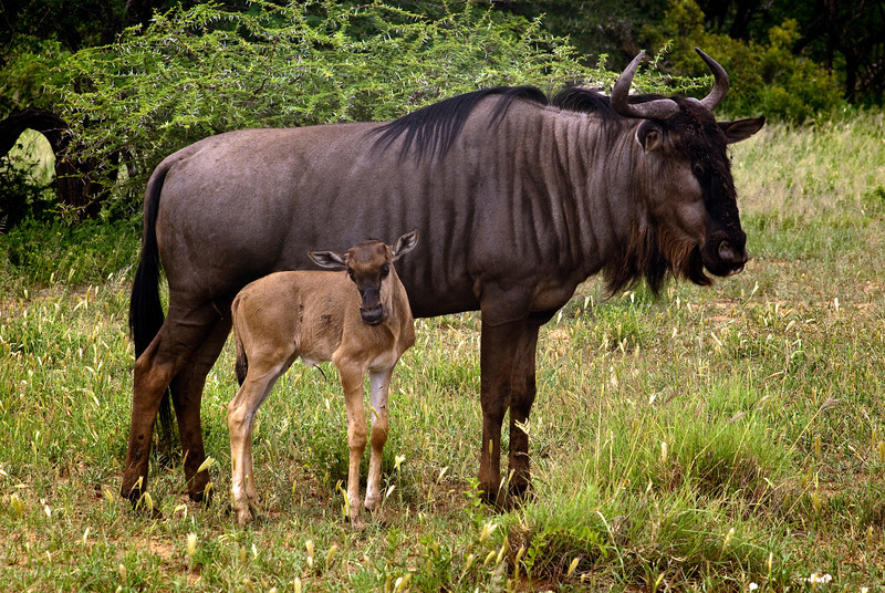 Wildebeest cow and calf
