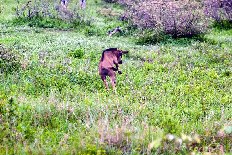 Gambolling WIldebeest calf