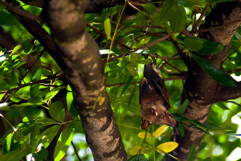 Fruit bat - Satara
