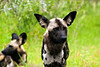 Wild Dog/Cape Hunting Dog