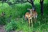 Young impala
