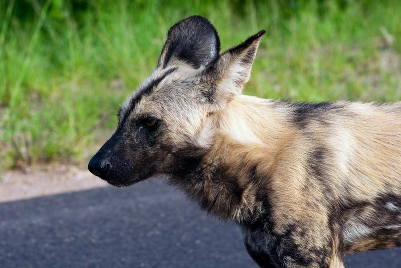 Wild Dog/Cape Hunting Dog