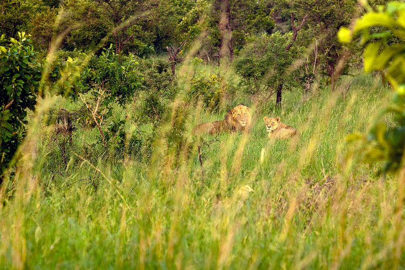 Lions in the early morning (on Timbavati)