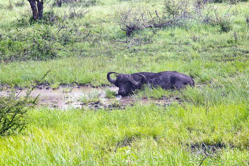 Wallowing Buffalo