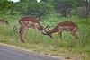 Impala rams rutting