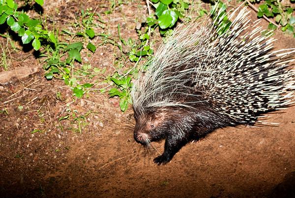A Porcupine Comes to Visit