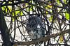 African scops-owl (Otus senegalensis)