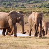 Addo - Elephants on the move