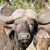 Imfolozi - Buffalo