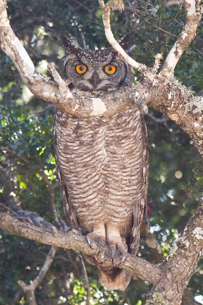 Addo - Spotted Eagle Owl