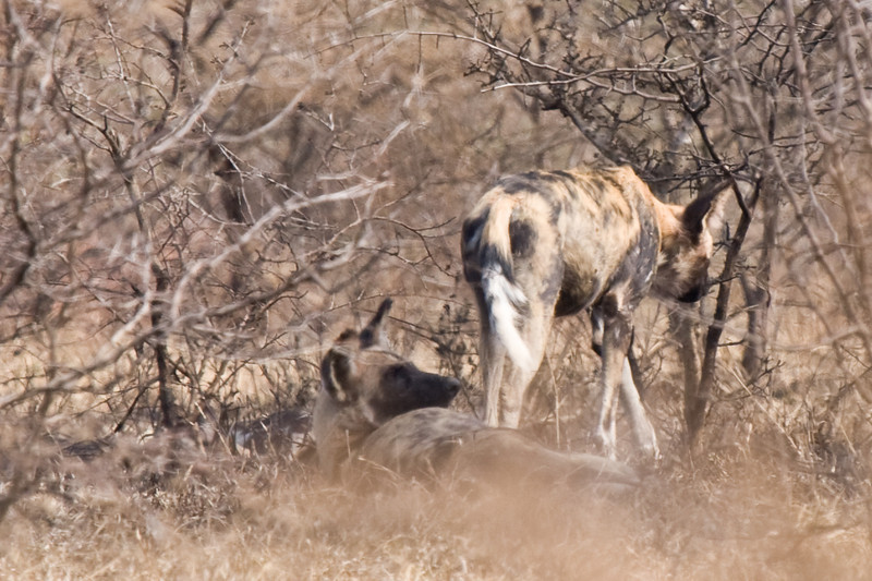 Imfolozi - Wild dogs