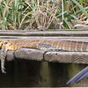 St Lucia Boat Tour - Two Water Monitors