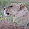 Imfolozi - we were parked about 2 meters from this lioness who was just off the road