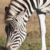 Addo - Zebra