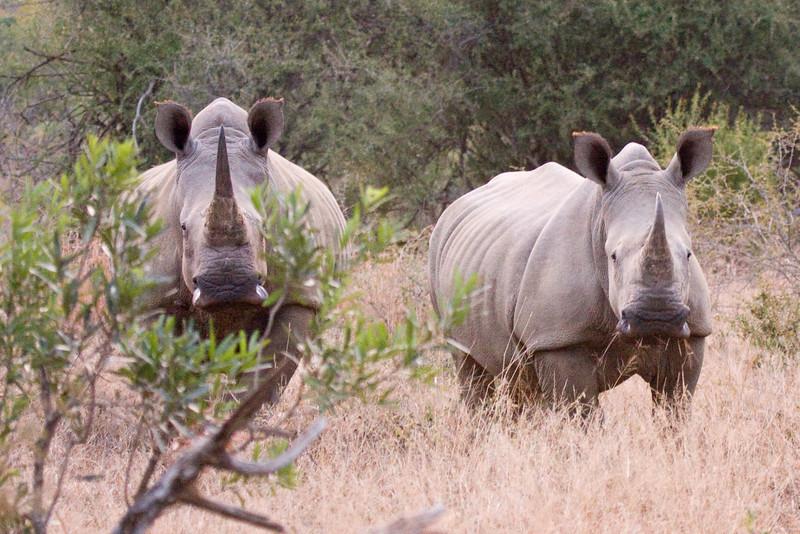 Imfolozi - White Rhino