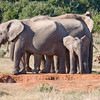 Addo - elephants everywhere (and a warthog passing by)