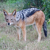 Addo - Blackbacked Jackal