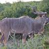 Addo - Kudu