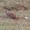 Addo - Yellow Mongoose