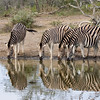 Imfolozi - Zebras at the watering hole