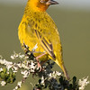 Addo - Cape Weaver ?