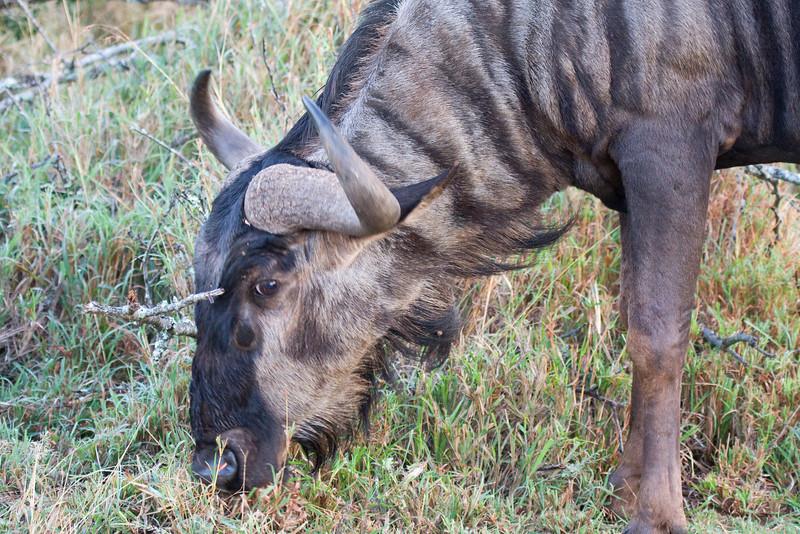 Hluhluwe - Wildebeest
