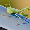 This Praying Mantis hitched a ride with us, he really hung on tight (and scared the crap out of me when he peeked through the window) !