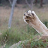 Imfolozi - a lioness was snoozing right off the road and appeared to be quite comfortable