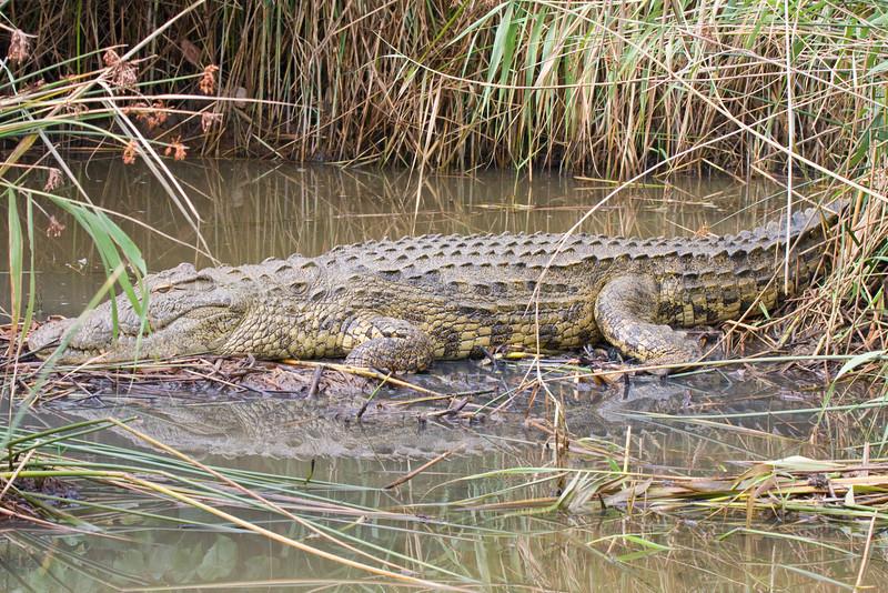 Croc seen on St Lucia Estuary Boat Tour