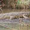 Croc seen on St Lucia Estuary Boat Tour